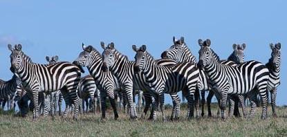 Blog 17 media zebras